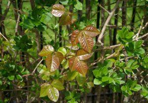 Poison_ivy_in_privet_hedge